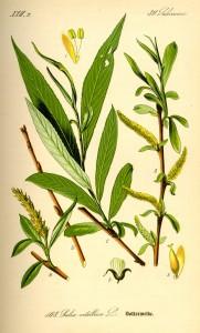 An illustration of White Willow (Salix alba)