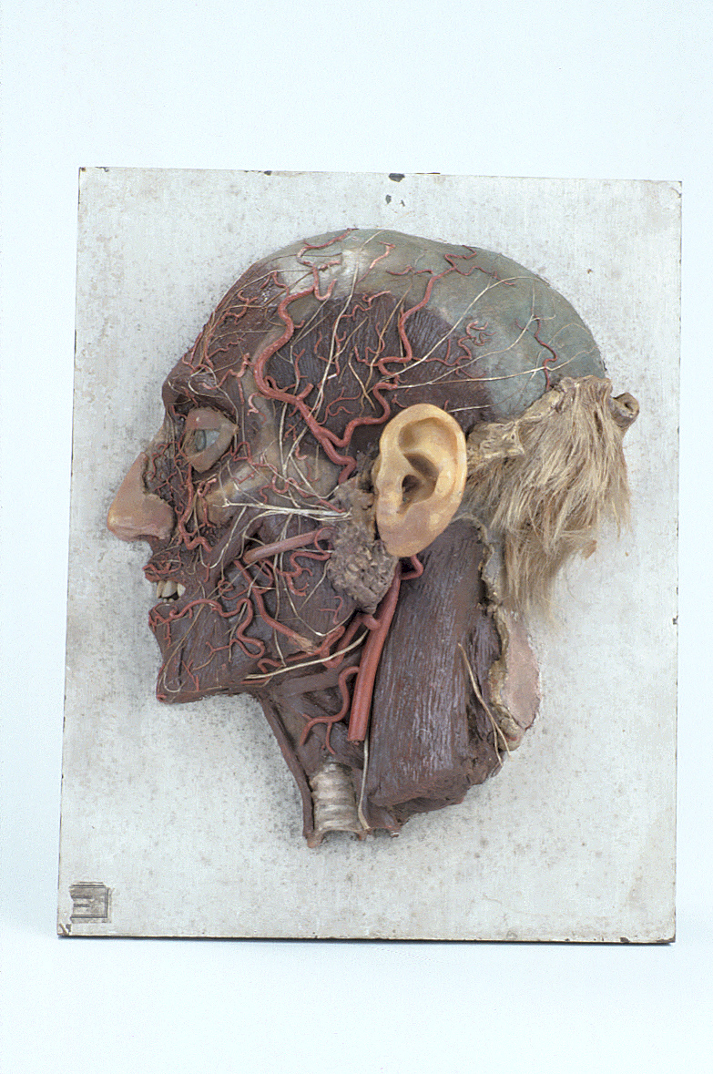 preview image for Wax Anatomical Model of the Facial Nerves, by James Paxton, London, c. 1824