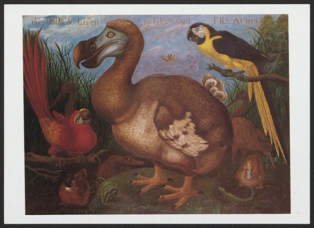 preview image for Print (Postcard) The Dodo, Oil Painting by Louisa Gunther c.1877 copied from earlier 17th Century painting, Printed by Cornwall Litho, United Kingdom, 20th Century