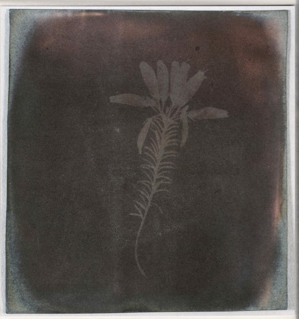 preview image for Photograph (Experimental Photogenic Drawing) of Heather (Erica Mutabilis), by W. H. Fox Talbot, from the Photographic Experiments of Sir John Herschel, March 1839