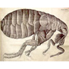 Hooke's drawing of a flea, 1665
